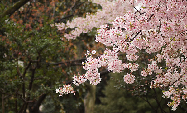 Woodcliff Lake's 1st Annual  Spring Pear Blossom Festival